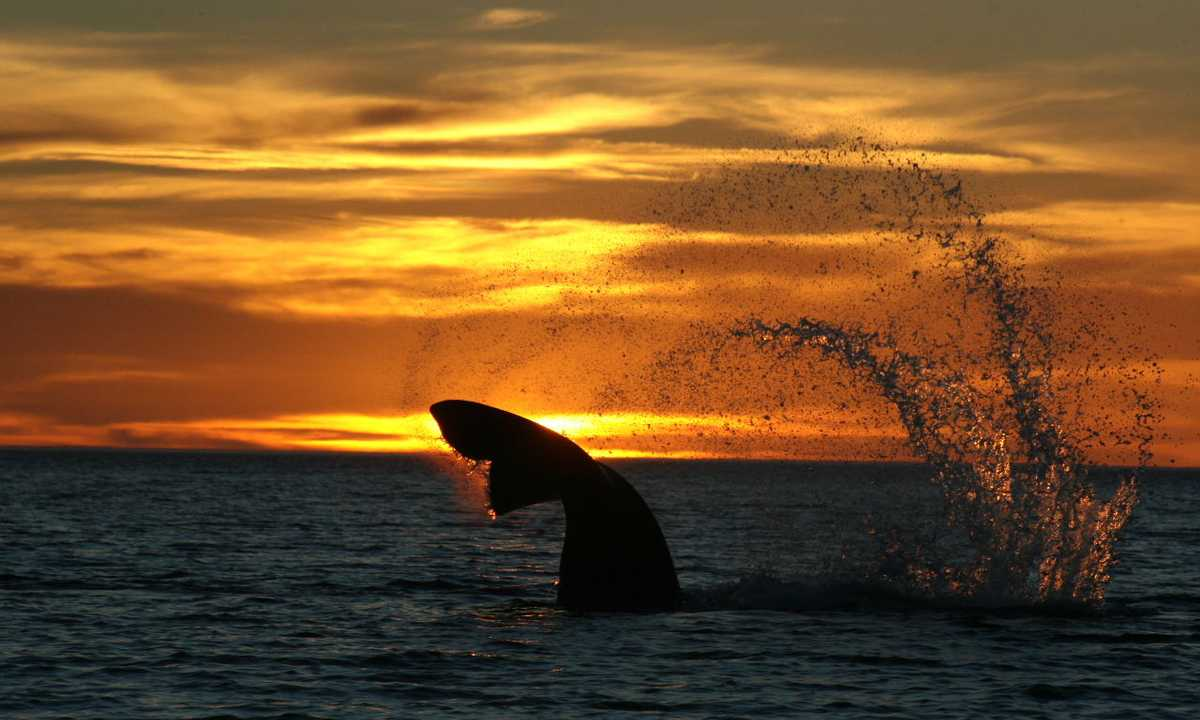aldes sunset whale