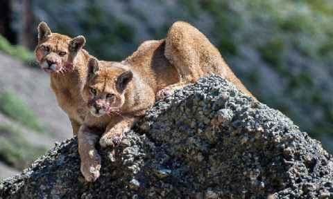 Pumas in Patagonia