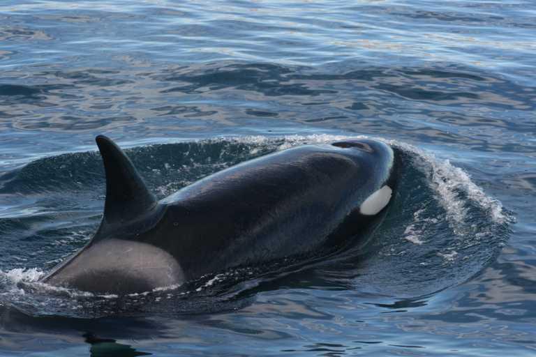 Valdes orca