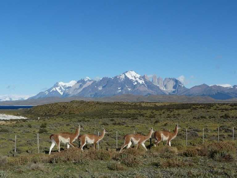 Guanacos-TdP-small-SD-p-p