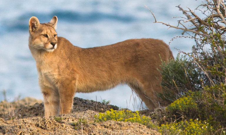 Patagonia Puma & Wildlife Tracking