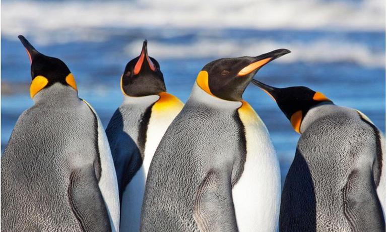 King Penguin Encounter