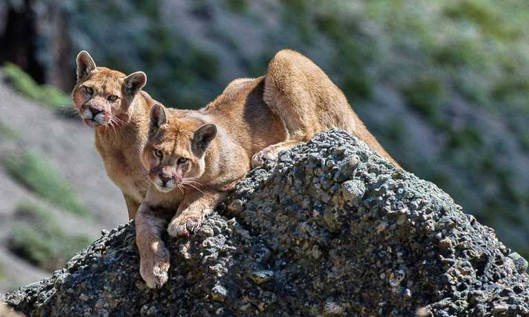 Pumas, Penguins & Whales; Wildlife Tour